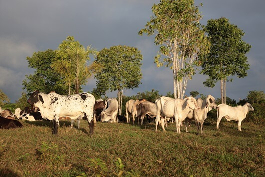 N8 scientist outlines plan to reduce the environmental footprint of Brazilian beef