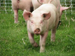 Automated Detection of Health and Welfare Problems in Pigs