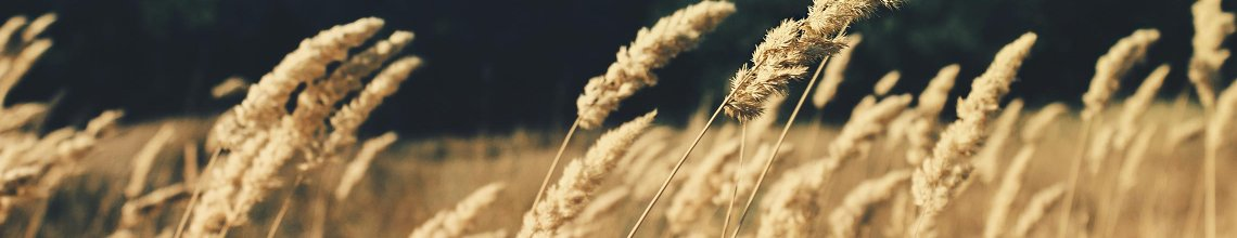 Golden-Wheat