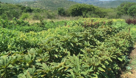 Harnessing the benefits of African leafy vegetables for smallholder farmers and their households